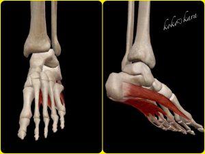 足部 模型
