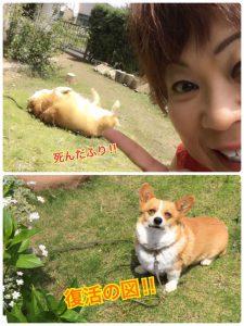 コーギー犬2
