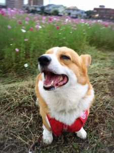 コーギー犬1